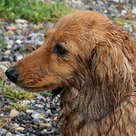 Bath, Stella? by Chrissie Barrow - Animals - Dogs Portraits ( muddy, red, female, mouth, dachshund (miniature long haired), pet, fur, ears, wet, dog, nose, tan, eye )