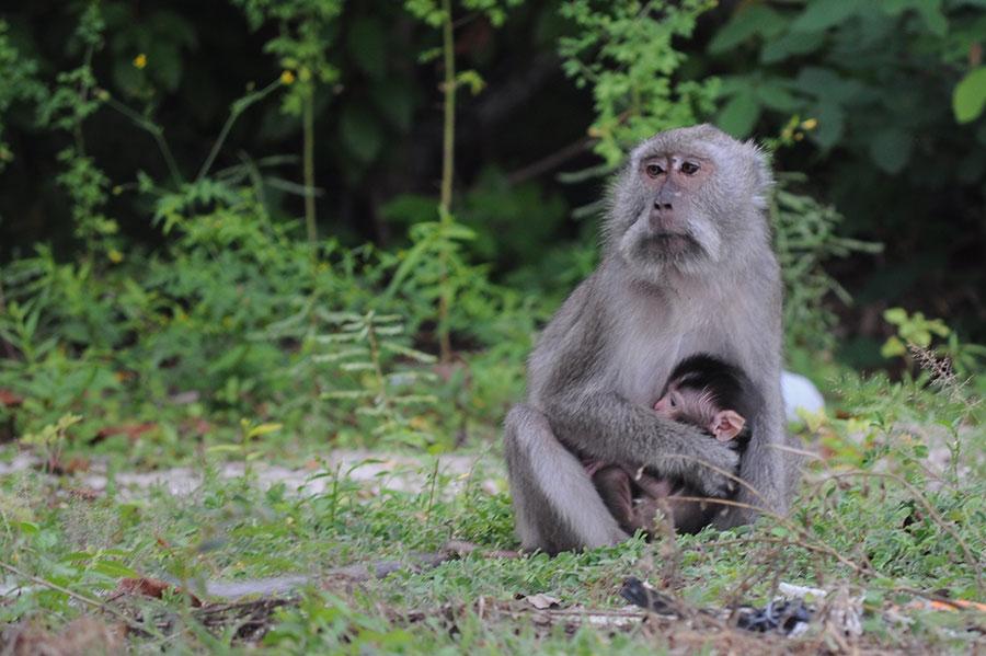baluran monkey by Tonny S - Animals Other Mammals
