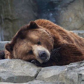 Nap Time! by Debbie Salvesen - Animals Other Mammals ( bear paw, asleep, bear, adult bear, brookfield zoo, paw, orphan animal, rescued, il, claw, napping,  )