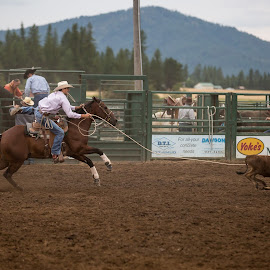 Calf Roping  by Craig Lybbert - Sports & Fitness Rodeo/Bull Riding ( cowboy, rope, horse, calf, rodeo, country )
