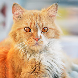 Cat Look At Me by Mohamed Mahdy - Animals - Cats Portraits ( looking, look, cats, cat, street, nikon d, nikon,  )