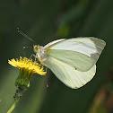 Common Green-eyed White or Mountain White
