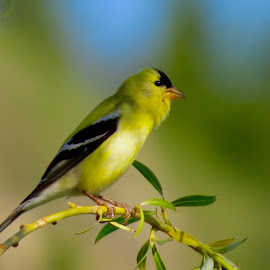 American Goldfinch by Nick Swan - Animals Birds ( bird, nature, american goldfinch, wildlife, bc )