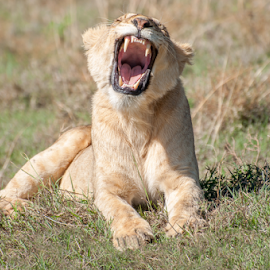 Lioness Yawning by Jacques Jacobsz - Animals Lions, Tigers & Big Cats ( felidae, cat, warm, ecosystem, beauty, tanzania, protect, open, conserve, nature, conservation, relaxed, future, ecology, ngorongoro, africa, protection, grassland, lion, hill, sub-saharan, lying, tongue, mouth, beautiful, wide, sunlight, morning, relaxing, liones, teeth, yawn, canine, crater, hunter, national park, environment, female, generations, savanna, down, big, natural, early )