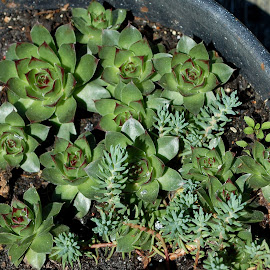 Hens & Chicks by Philip Molyneux - Nature Up Close Other plants (  )