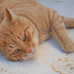 Orange Beauty lying down by Pantelis Orfanos - Animals - Cats Portraits ( cat, orange beauty, orange beauty cat, lying down, cat portrait )