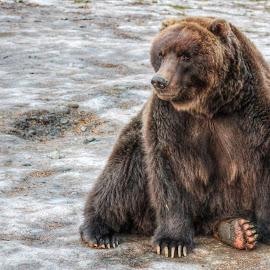 Alaska Brown Bear by Patricia Phillips - Animals Other Mammals ( bears alaska brown )