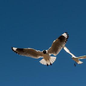 Seagull by Hezi Shohat - Animals Birds ( titicaca )