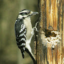 Downy Woodpecker – Female