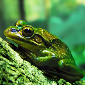 Golden Bell Frog by Mike Mills - Animals Amphibians