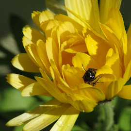 The Visitor by Angie Keverne - Novices Only Flowers & Plants ( calendula, yellow, insect, garden, flower )