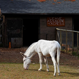 Leave AssAlone Acres  by Campbell McCubbin - Animals Other Mammals ( ass, barn, burro, donkey, funny )