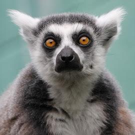 Ring Tail lemur by Ralph Harvey - Animals Other Mammals ( wildlife, lemur, ralph harvey, bristol zoo, animal )