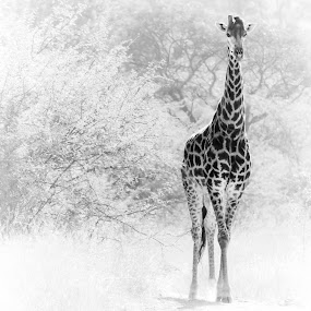 Giraffe comming out of the bushes. by Teus Renes - Animals Other Mammals ( tree, giraffe, art, white, bush, africa )