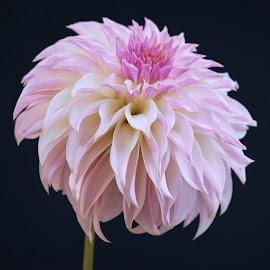 Purple dahlia #6 by Jim Downey - Flowers Single Flower ( white, dahlia, black, purple, petals )