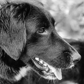 Lab by Jennifer Wollman - Animals - Dogs Portraits ( pet photography, dogs, black and white, dog photography, monocrhome, labrador )