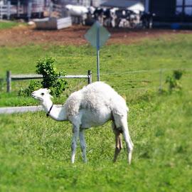 Albino Camel by Jennifer Durham - Animals Other Mammals