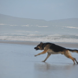 by Orpa Wessels - Animals - Dogs Running