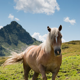 Wild horse in the mountains by Twan Konings - Animals Horses ( wild, mountains, blue sky, nature, grass, sunny, horse, landscape, alps )