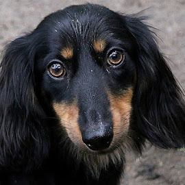 Buddy by Chrissie Barrow - Animals - Dogs Portraits ( dachshund (miniature long haired), pet, male, fur, ears, dog, nose, tan, black, portrait, eyes )