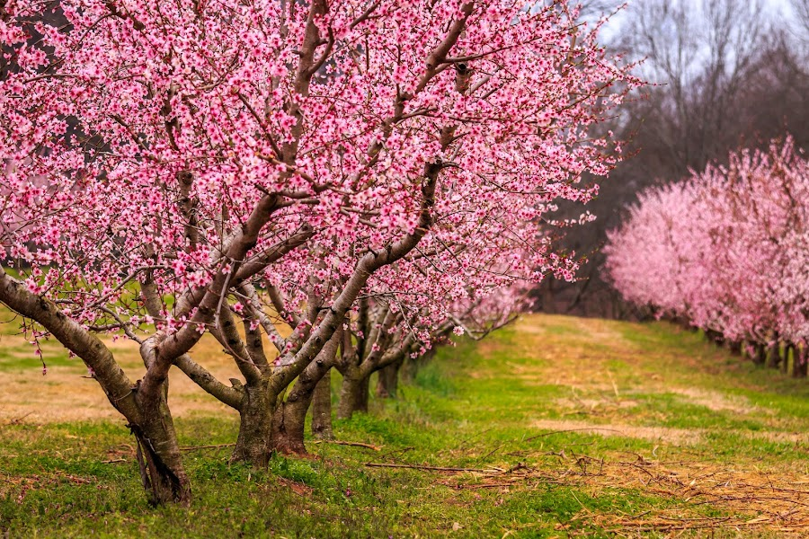 Spring Time by Rananjay Kumar - Flowers Tree Blossoms ( spring, colrful, peach, canon70d, canon, tress )