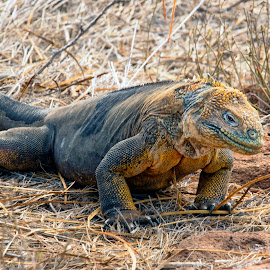 Iguana marina by Stanley P. - Animals Sea Creatures ( animals, iguana )