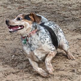 by Victoria Eversole - Animals - Dogs Running ( dog running, happy dogs, dog parks )