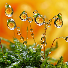 by Fentee  Affandy - Nature Up Close Natural Waterdrops ( waterdrops macro droplets yellow rose )