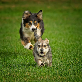 Chase Me! by Morgan Baumgartner - Animals - Dogs Playing
