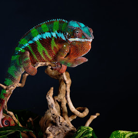 Norbert Flaring by Jen St. Louis - Animals Reptiles ( studio, raptile, chameleon, panther chameleon, lizard, pet,  )