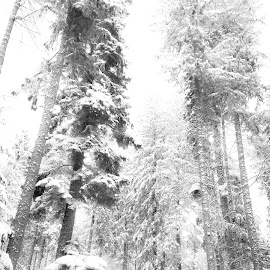 white dream by Codrutza Iana - Landscapes Forests ( forest, white, snow, winter, black and white,  )