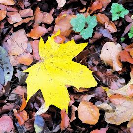 by Vicki Clemerson - Digital Art Things ( yellow leaf, autumn leaves, autumn, yellow, autumn colour, autumn leaf )