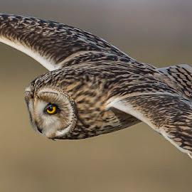 SEO by Adam Caird - Animals Birds ( canon, scotland, bird of prey, nature, sunset, owl, wildlife, close up, birds, owls )