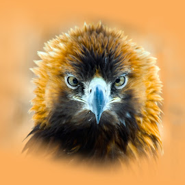 Golden Eagle by Lajos E - Digital Art Animals ( bird, birds of prey, eagle, chrysaetos, aquila, golden )
