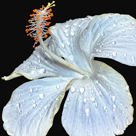 white hibiscus by Hafiz Ursa - Nature Up Close Gardens & Produce ( black background, hibiscus, nikon d3100, 50.0 mm, d3100, fresh flower, fresh hibiscus flower, white hibiscus whit water drops, nikon, solid background, white hibiscus )