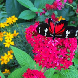 Doris Longwing by Rita Goebert - Animals Insects & Spiders ( butterflies; black; red; white spots; gainesville; florida; butterfly rainforest; florida natural history museum; likes red flowers; )