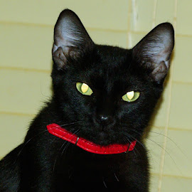 Jasmyne's Collar by Kirk Barnes - Animals - Cats Portraits ( red collar, black cat, cat, indoors, angry, portrait )