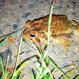 Blue eyed toad by Cecilia Sterling - Animals Amphibians