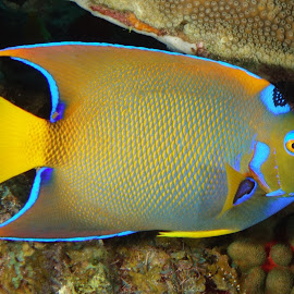Queen Angelfish by David Gilchrist - Animals Fish ( underwater, queenangelfish, fish, underwater photography, animal )