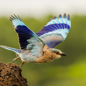 Rolling Blues by Srikanth Iyengar - Animals Birds ( roller, blue, srikanth, indian, take off )