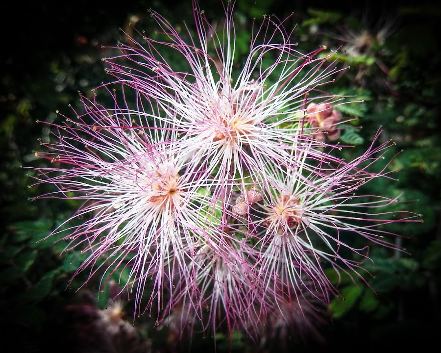 Fairy Dusters by Dawn Hoehn Hagler - Flowers Flower Gardens ( tucson, pink, fairy duster, fairyduster, arizona, garden, flower, tohono chul park )