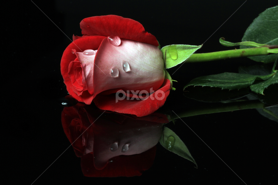 Red rose, with drops by Cristobal Garciaferro Rubio - Nature Up Close Flowers - 2011-2013 ( reflection, red, drop, drops, red rose, raindrops, leaf, leaves, flowers, flower )