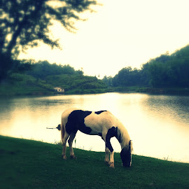 A Marwari stallion by Rahul Baruah - Animals Horses