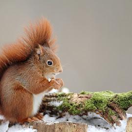 Nutcracker by Gérard CHATENET - Animals Other Mammals