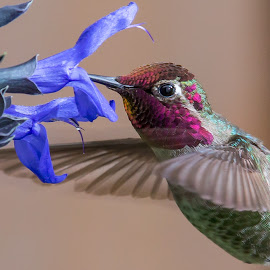HummingBird by Jim Malone - Animals Birds