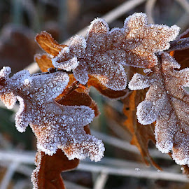 Sprinkled with Frost by Chrissie Barrow - Nature Up Close Leaves & Grasses ( nature, oak, frost, brown, leaves, closeup )