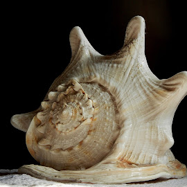 Conch shell 5 by Pradeep Kumar - Artistic Objects Still Life