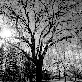 Weeping by Barbara Brock - Nature Up Close Trees & Bushes ( weeping willow tree, sunburst through the trees, willow in black and white, willow tree, sun flare and trees )