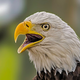 by James Eveland - Animals Birds ( jeveland photos, bald eagle, wildlife, birds )
