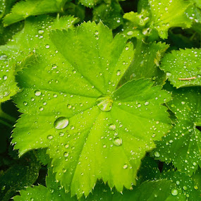 Summer's Rain by Charline Ratcliff - Nature Up Close Natural Waterdrops ( nature, green, nature up close, raindrops, leaf, leaves,  )